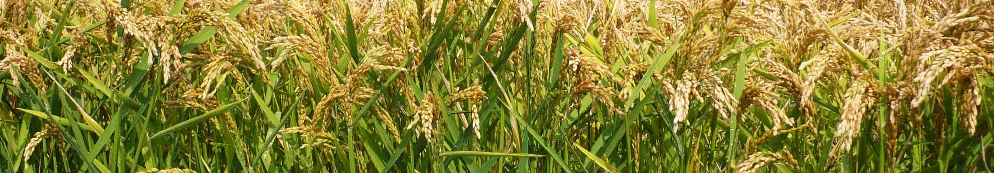 Agrifama Barengo | Riso